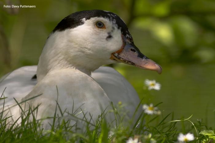Foie gras, dat is allesbehalve feestelijk!