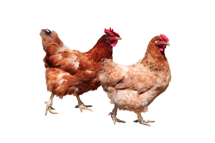 Kippen: bijdehand, scherpzinnig en intelligent!