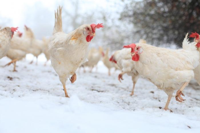 SCIENCE : Malignes et astucieuses, les poules sont intelligentes !