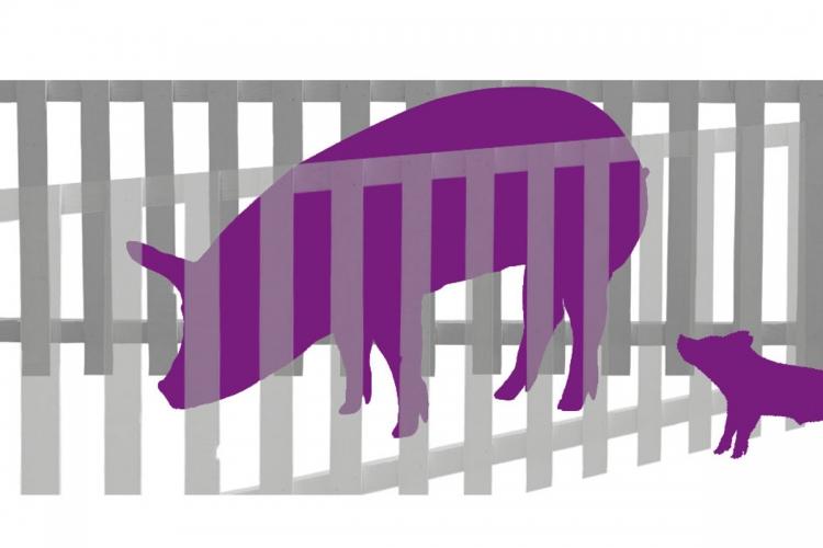 Les truies mettent leurs petits au monde dans une cage