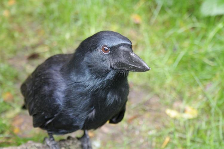 Crusoë est un corbeau de Nouvelle Calédonie