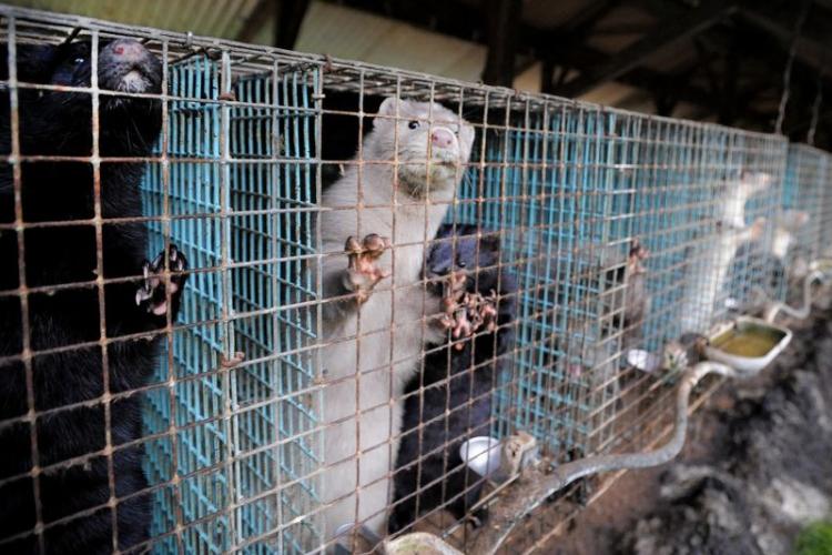 Il existe 19 élevages de visons en cages en Belgique