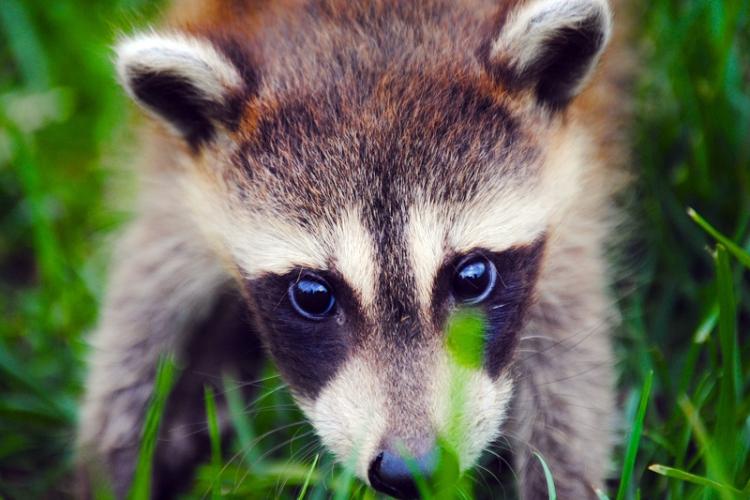 Net zoals vossen worden ook wasberen gekweekt voor hun vacht