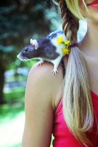 Les rats adorent la compagnie